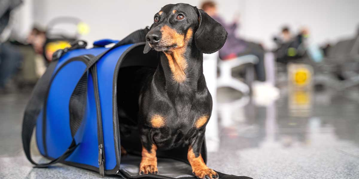 A pet dog immigrating to the US